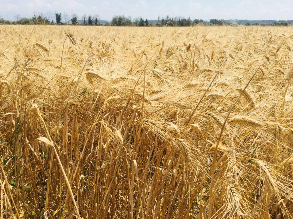 Il nostro grano
